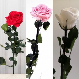 Roses stabilisées à la tige