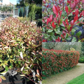 Photinia Red Robin 6.99€