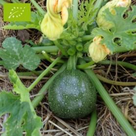 Plants de Courgette Verte Ronde 1.99€