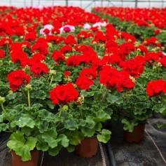 Gros Géraniums Droit Rouge 2,99€