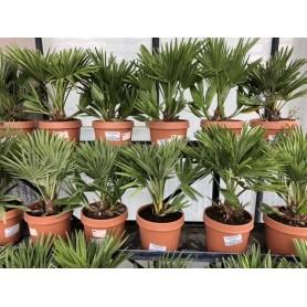 Palmier Chamaerops Humilis 12,95€