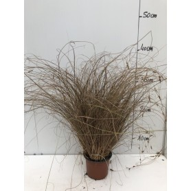 Carex Bronze Form 1,99€