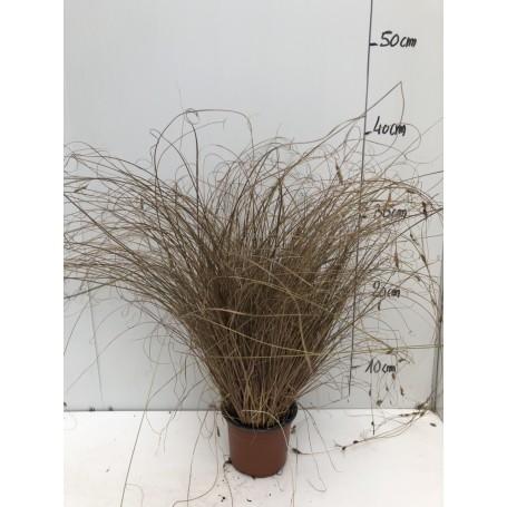 Carex Bronze Form 1,99€