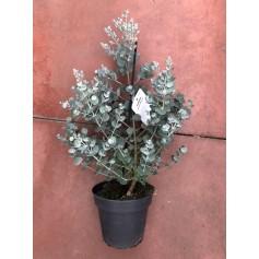 Eucalyptus Vivace