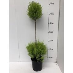 Cupressus Macrocarpa 7.95€