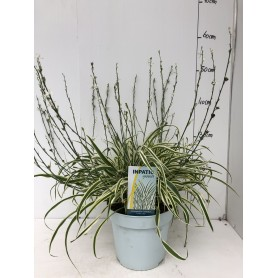 Arthropodium Little Lilila 6.99€