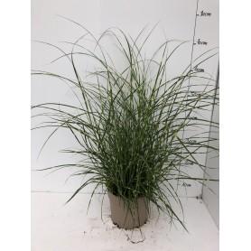 Graminée Miscanthus Zebrinus 5,99€