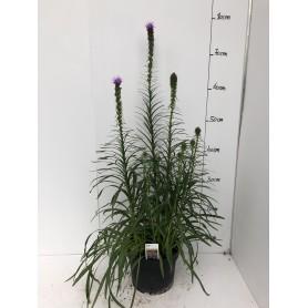 Liatrix Violette 4,95€