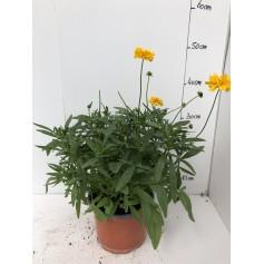Coreopsis à grande fleurs 5,95€