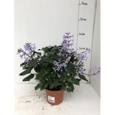 Plectranthus Mona Lavender 2,99€