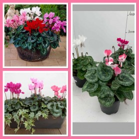 Cyclamen Canto Production 1.99€