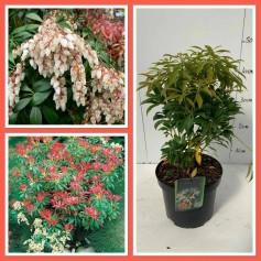 Pieris du Japon 5.95€