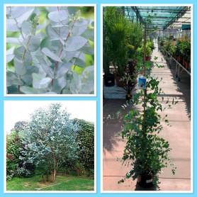 Eucalyptus Gunii 24.95€