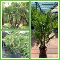 Trachycarpus Humilis 34.95€