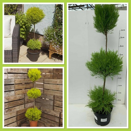 Cupressus Gold Cress 24.95€