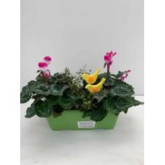 Jardinières d'automne avec cyclamen et muhenlebeckia 9.95€