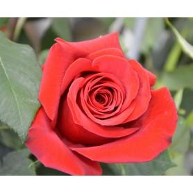 Rose Rouge à l'unité 1.95€ pièce