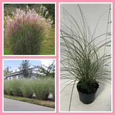 Miscanthus Sinensis Morning Light 4,95€