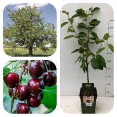 Cerisier Prunus Avium REGINA 19.95€
