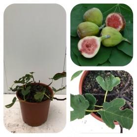Figuier ' Ficus Carica Bornholm ' 11.95€