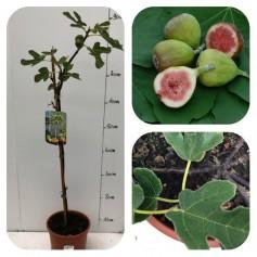 Figuier ' Ficus Carica Bornholm Sur Tige ' 16.95€