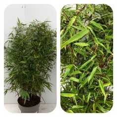 Bambou Fargesia Murieliae Rufa Non traçant ! 19.95€