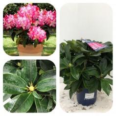 Rhododendron XXL 17.95€