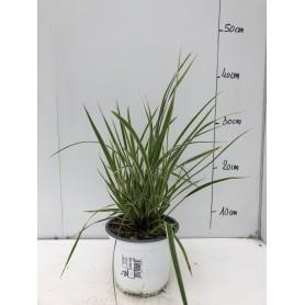 Carex Morrowii 2,95€ pièce 10€ les 4