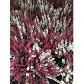 Bruyère bicolor 1.99€