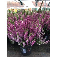 Bruyère violet 1.99€