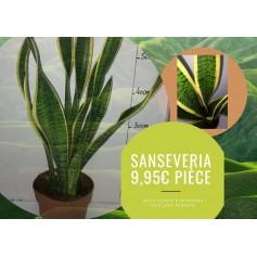 Sanseveria 9.95€