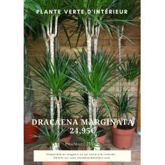 Dracaena Marginata 24.95€