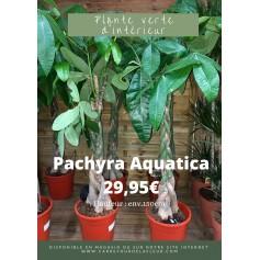 Pachira Aquatica 29.95€