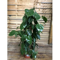 Philodendron scandens 12,95€