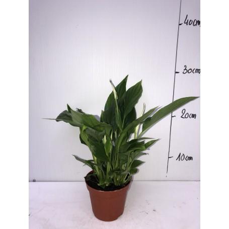 Petit spatiphyllum 1,99€