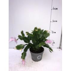 Epiphyllum rose 2,99€