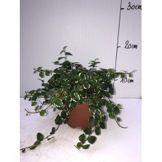 Ficus pumila 1,99€