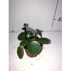 Mini pilea 1,99€