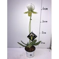 Paphiopedilum (orchidée) 9,95€