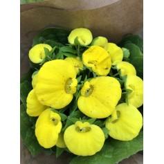 Calcéolaire ou mimosa du nord 1.99€