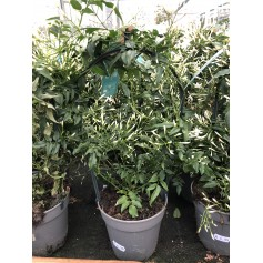 Jasmin polyanthum 6.95€