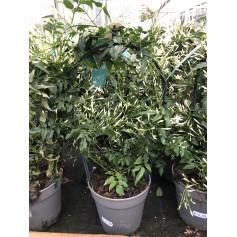 Jasmin polyanthum 599