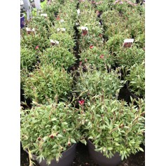 Saxifrage rouge 2,49€ pièce