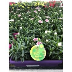 Jardinière oeillet vivace 9.95€