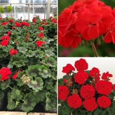 Géraniums Droit Rose 139