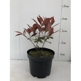 Photinia '  Carré rouge '