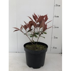 Photinia '  Carré rouge '