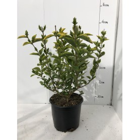 Troène doré - Ligustrum ovalifolium 'Aureum'