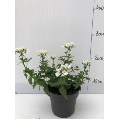 Némésia blanche 1,99€ pièce