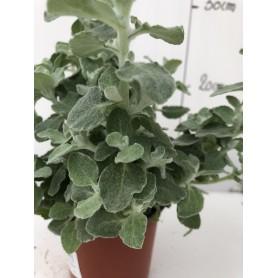 Hélichrysum 1,99€ pièce